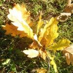 sonnendurchflutete Eichenblätter